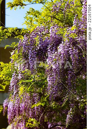 連なる藤の花2 22167004