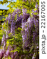 連なる藤の花3 22167005