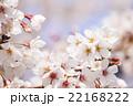 桜 22168222