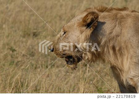 ライオン 22170819