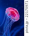 漂うクラゲ 22170971