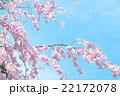 桜 花 花びらの写真 22172078