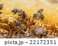 ニホンミツバチ 斜め前から 複数数匹 22172351
