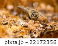 二ホンミツバチ 斜め前から 複眼にピント 22172356