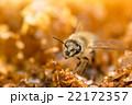 二ホンミツバチ 正面より斜め前 複眼にピント 22172357