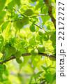 新緑と青梅 シャドウ弱め 22172727