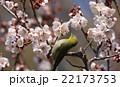 梅とメジロ 22173753