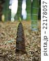 竹の子の成長 22178057