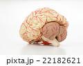 脳の模型 22182621