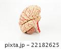 脳の模型 22182625