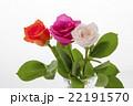 薔薇 花 植物の写真 22191570