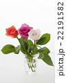 薔薇 花 植物の写真 22191582