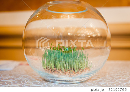 sprouted grass in a large glass vaseの写真素材 [22192766] - PIXTA