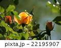 平成の森公園@埼玉県川島町のバラ その2 22195907