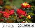 平成の森公園@埼玉県川島町のバラ その5 22195910