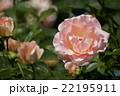 平成の森公園@埼玉県川島町のバラ その6 22195911