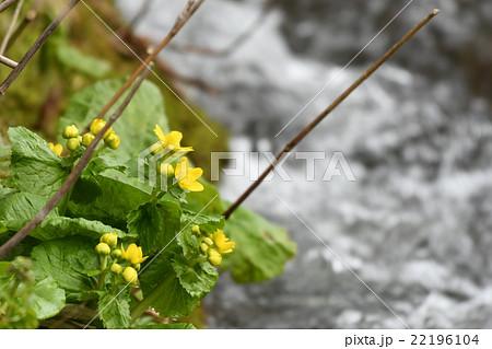 川原に咲くヤチブキの花(エゾノリュウキンカ) 22196104