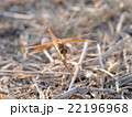 large yellow orange dragonfly resting on grass 22196968