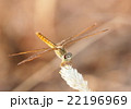 large yellow orange dragonfly resting on grass 22196969