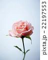 一輪のバラ 22197553