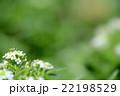 ホソヒラタアブ 虻 花の写真 22198529