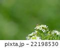 ホソヒラタアブ 虻 花の写真 22198530
