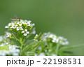 ホソヒラタアブ 虻 花の写真 22198531