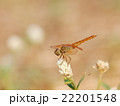 large yellow orange dragonfly resting on grass 22201548