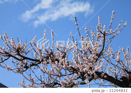 青空に咲く白梅 22204832
