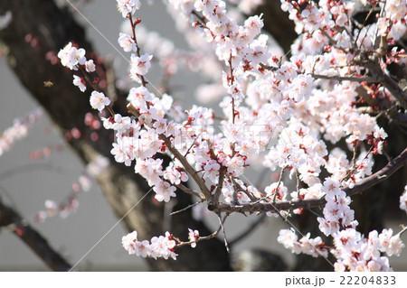 可憐な梅の花 22204833
