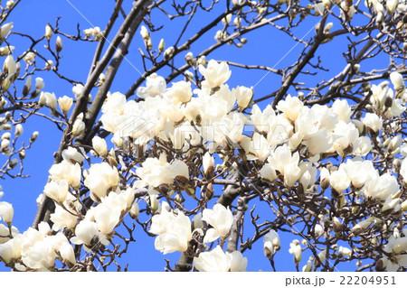 咲き誇る白木蓮 22204951