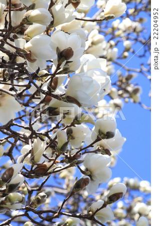 白木蓮のクローズアップ 22204952