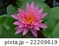 蓮の花 22209619