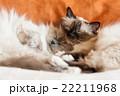 動物 ねこ ネコの写真 22211968