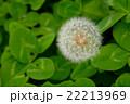 タンポポ キク科 多年草の写真 22213969