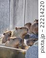 カピバラ 温泉 入浴の写真 22214220