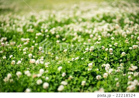 芝生に咲く白い花 22218524