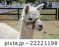 動物園のアルパカ 22221198