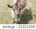 カメラ目線のヤギ 22221200