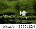 スワン ハクチョウ 白鳥の写真 22221824