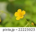 カタバミの花 22223023