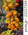黄色 観賞 植物 22227299