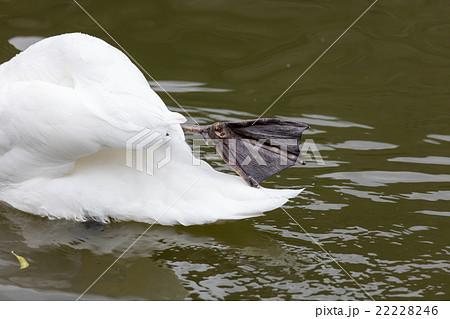 白鳥足の裏 22228246