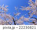 五稜郭公園の青空と満開の桜の花 22230821