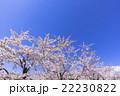 五稜郭公園の青空と満開の桜の花 22230822