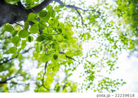 ハナミズキの葉っぱ 22239618
