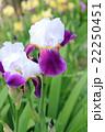 ジャーマンアイリス 花 開花の写真 22250451