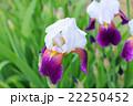 ジャーマンアイリス 花 開花の写真 22250452