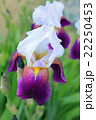 ジャーマンアイリス 花 開花の写真 22250453