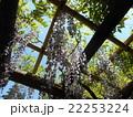 春日大社萬葉植物園 藤 22253224